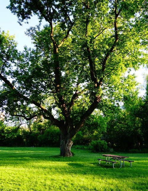 Picnic Bench, Tree, Rowntree Mill Park, Toronto, Canada