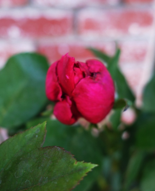 Mister Lincoln Rose, Rose Bush, Red Rose, Beautiful Rose