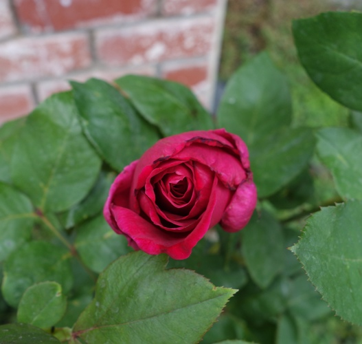 Mister Lincoln Rose, Rose Bush, Red Rose, Fragrant Rose, First Rose