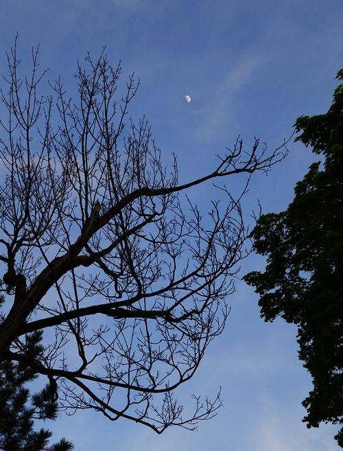 Trees, Silhouette, Moon, Westin Prince, Toronto, Canada