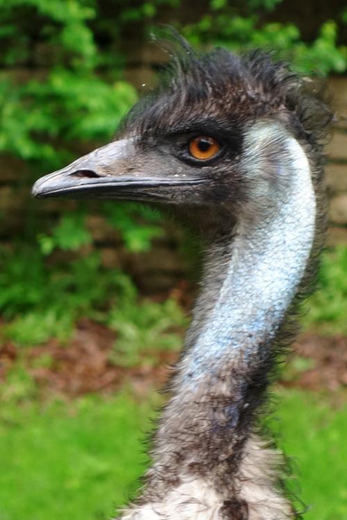 Emu, High Park Zoo, Toronto Canada, Angry Bird