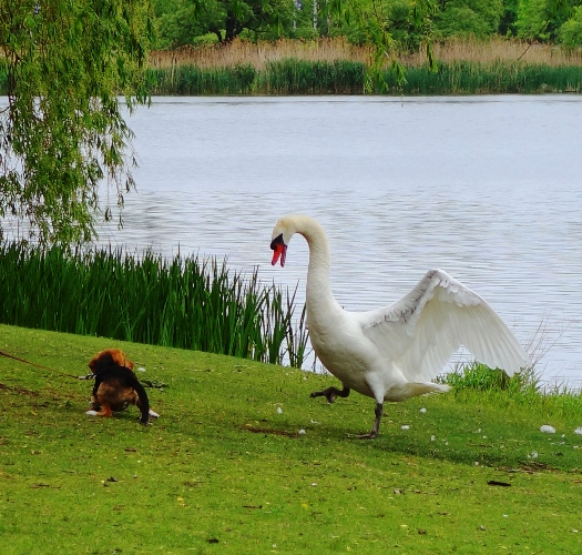 Angry Swan, High Park, Toronto Canada, Beagle, Grenadier Pond