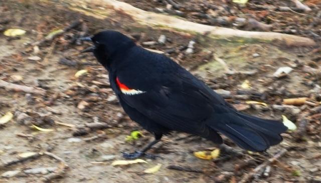 Red Wing Blackbird, Angry Bird, High Park, Toronto, Canada, Bird Attack, Bird flying into head