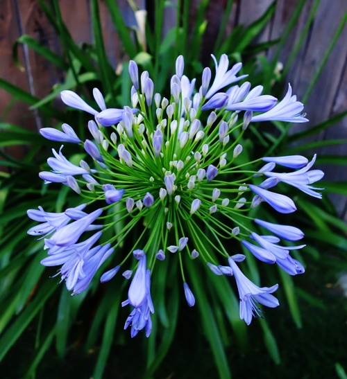 Agapanthus Bloom, Agapanthus, Lily of the Nile