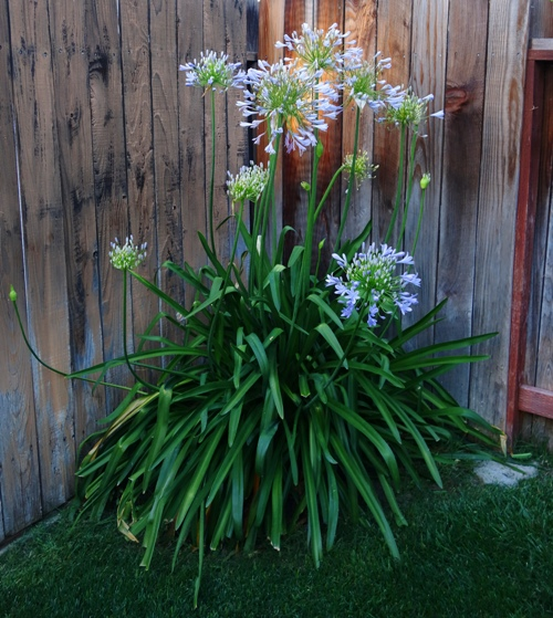 Agapanthus, Blooms, Flowers, Lily of the Nile
