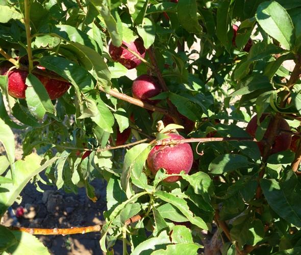 Nectarine, Prunus persica, peaches, fuzzless peach