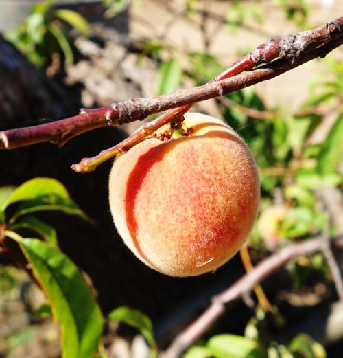 Peach, Prunus persica, fruit, ripe fruit