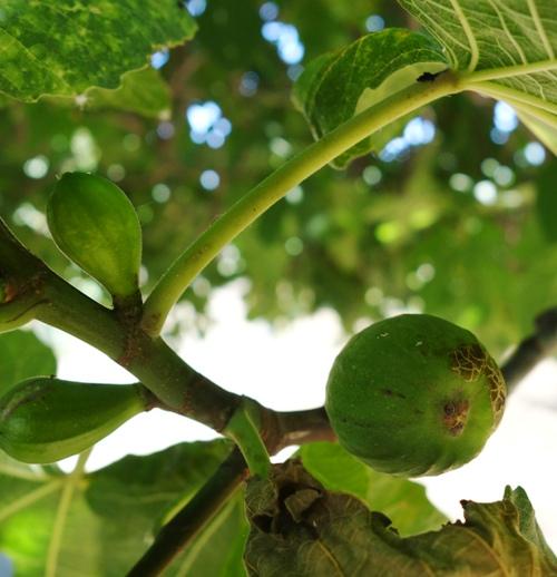 Figs, Ficus, Fruit, Orchards, Ripe Fruit