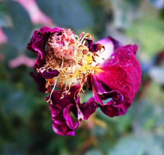Mister Lincoln, Red Rose, Life of a Rose Bloom, Garden