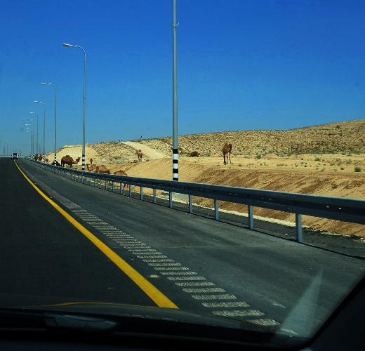 Camels, Arad, Beersheba, Israel, Camels along Highway, Camel Herd