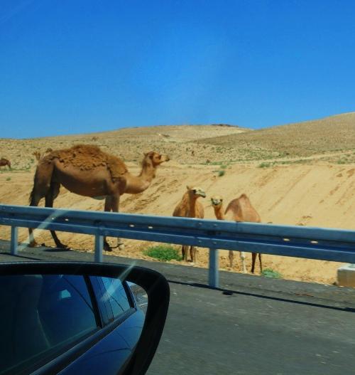 Camels, Arad to Beersheba, Israel, Dead Sea Area