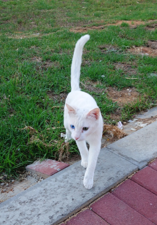 Kedma Village, White Cat, Israel, Two Color of Eyes