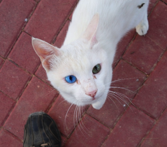 Blue Eye Green Eye, Two Colored Eyes, Cat, Kedma Village, White Cat, hererochromia