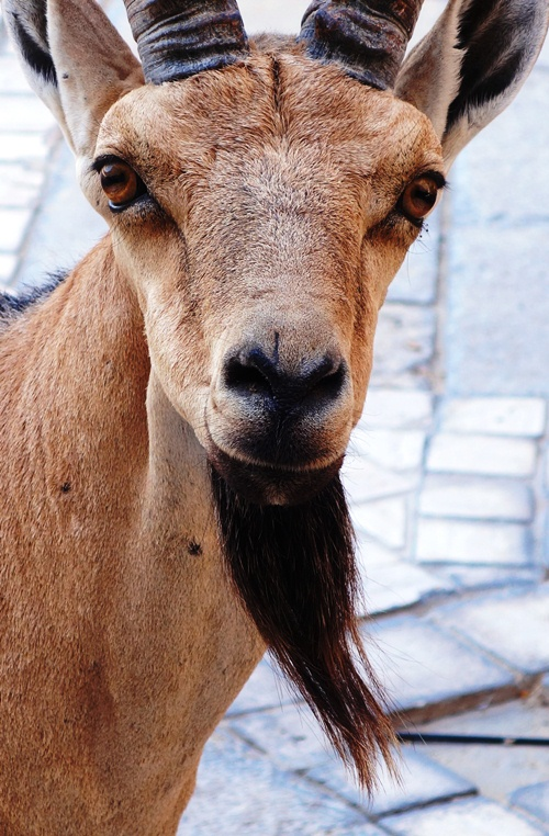 Nubian Ibex, Ibex, Capra nubiana, wild goat, masada