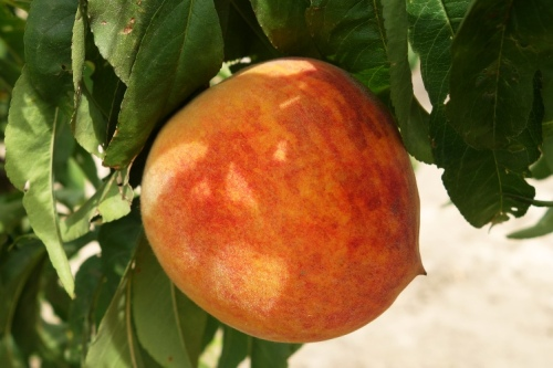 Peach on Tree, Peach Tree, Ripe Peach, Delicious Peach