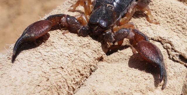Scorpio maurus fuscus, Israel, Scorpion, Venomous Scorpion, Lachish