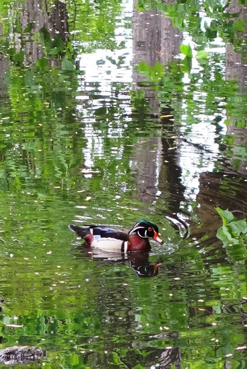 Wood Duck, Aix Sponsa, Carolina Duck, Perching Duck, High Park, Toronto, Canada