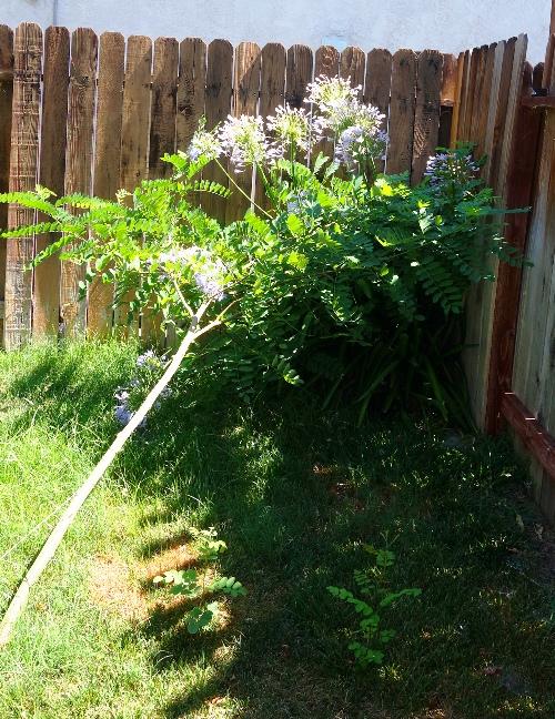 Fallen Tree, Agapanthus, yard work, Vacation return