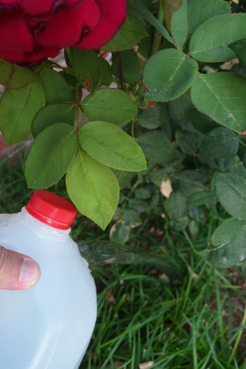 Roses, Drought, Water Saving, Water Collection