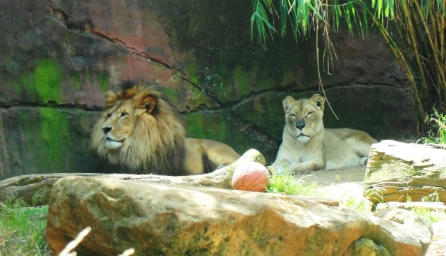 Lion, Lioness, Sydney Zoo, Taronga Zoo, Big Cat, King of the Jungle