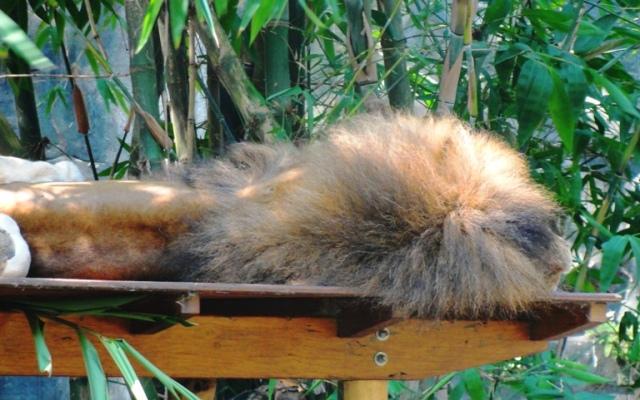 Sleeping Lion, Taronga Zoo, Hot Day, Sydney Zoo