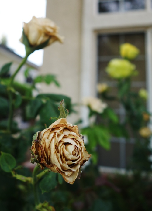 St. Patrick Rose, Dried Rose Blooms, Drought, Rose Bushes