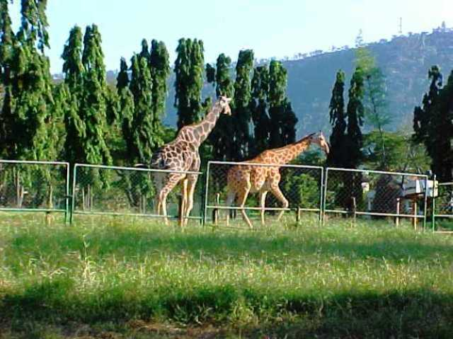Mysore Zoo, Giraffes, Zoo in India, Animals
