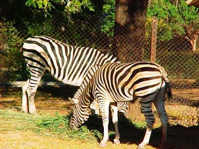 Zebras, Mysore Zoo, Striped Animals, Zoo, India