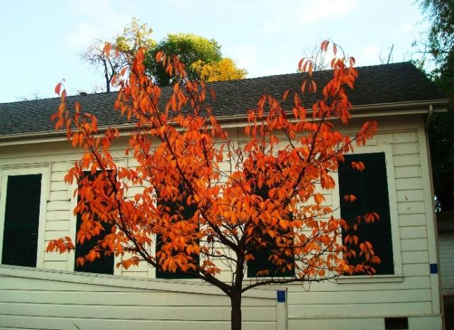 orange leaves, fall color, Pleasanton, California