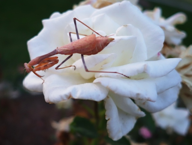Rose Garden, Tracy, California, Mantis, Flora and Fauna, Nature