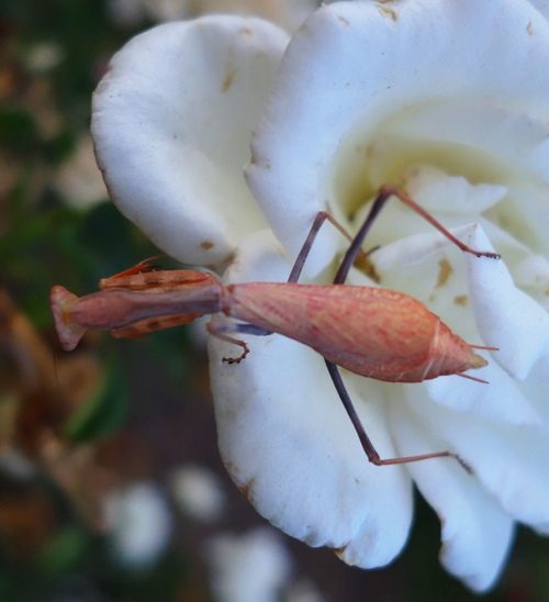 Mantis, Rose Garden, Flora and Fauna, Roses, Insects