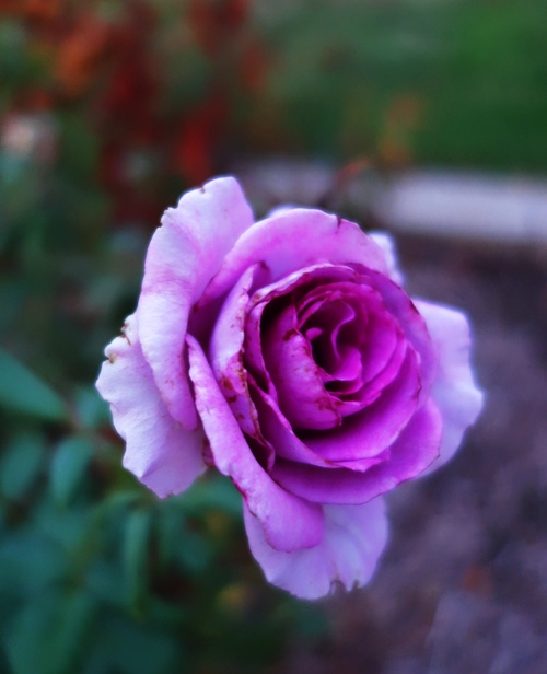 Rose Bloom, Rose Garden, Purple Rose, Garden