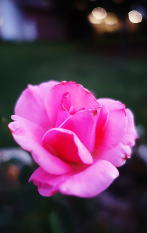 Pink Rose, Rose Garden, Rose at Dusk, Nature, Flora