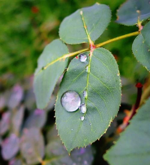 Raindrops on Roses, Rose Petals, Rain drops, Rainy day