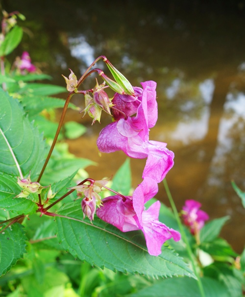 Pink Flowers, Roda River, Jena, Germany, Nature Walk
