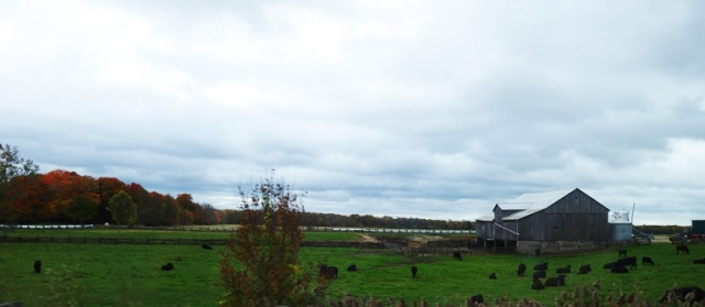 Canadian Farm, Barns, Cattle