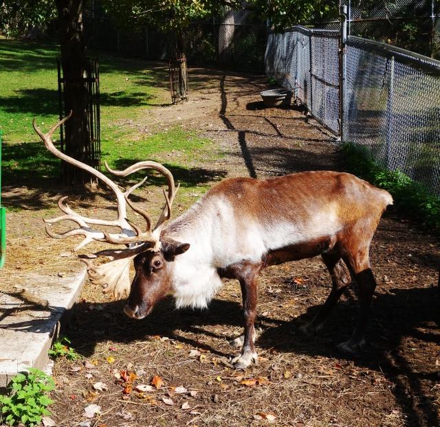 reindeer, santa's reindeer, high park zoo