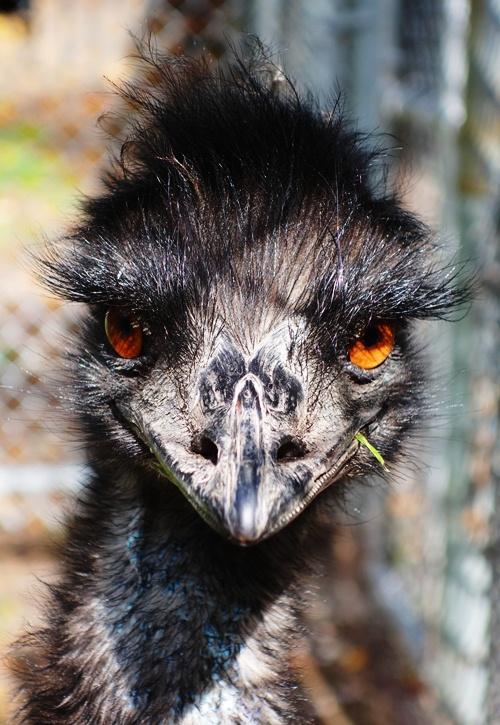 Emu, Bird, High Park Zoo, Bird Eyes, Bird Beak
