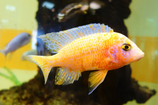 Yellow Fish, Tropical Fish, Jena, Germany