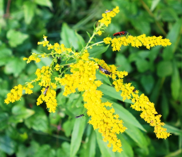 Bugs, Insects, Yellow Flowers, Mustard