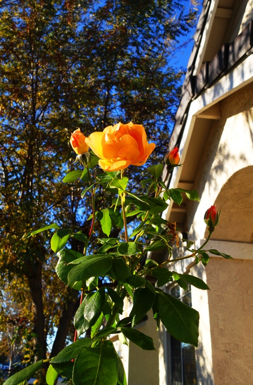Yellow Rose, Rose Bush, Fall Color, November Color, November Roses