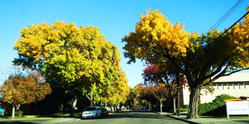Yellow Trees, Yellow Leaves, Fall Color, California Fall Color