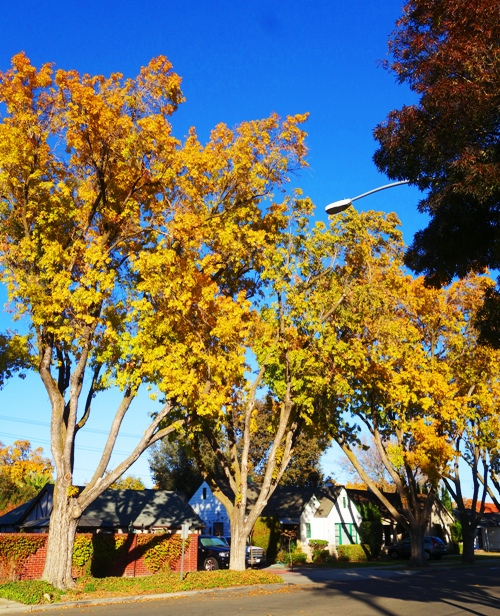 Yellow Trees, Fall Color, Yellow Leaves, California