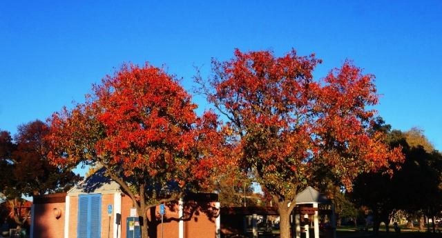 Red Leaves, Red Trees, Library, Fall Color, California Fall