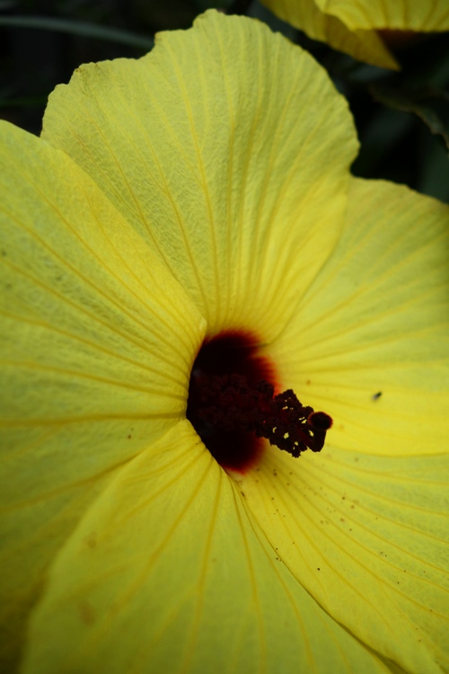Yellow Hibiscus, Flower at Zoo, Flora at a zoo