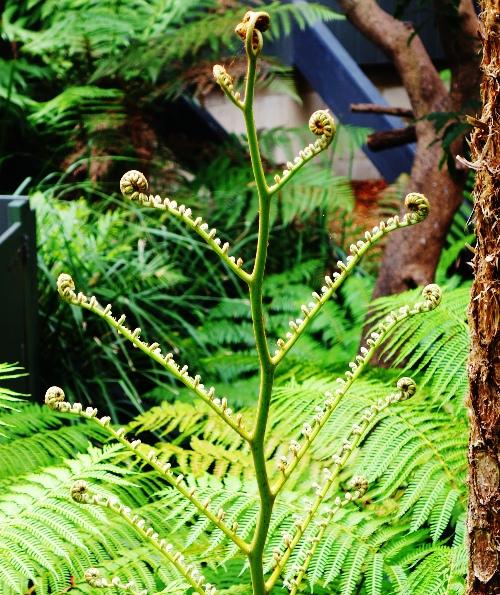 Fern, Fauna at Zoo, Taronga Zoo, vascular plants, fronds