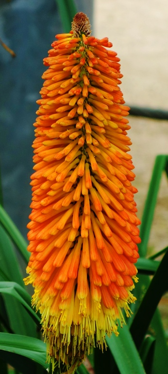 Kniphofia, Red Hot Poker Plant, Flowers
