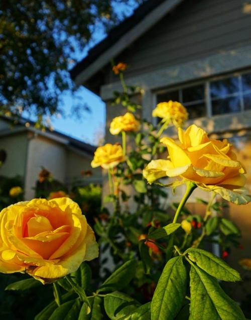 St. Patrick Roses, November Roses, Yellow Roses