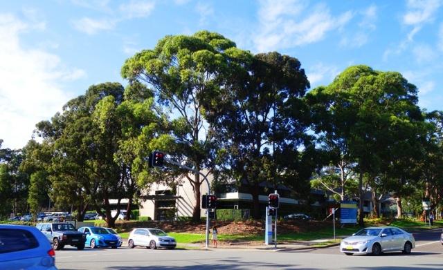 Australian Trees, Intersection, North Ryde, Australia