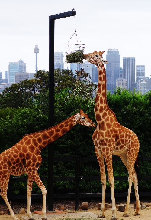 Taronga Zoo, Sydney Zoo, Australia, Giraffes, Sydney Skyline